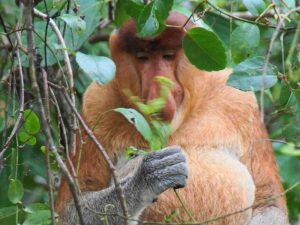 Proboscis Monkeys en vuurvliegjes | Rama Tours