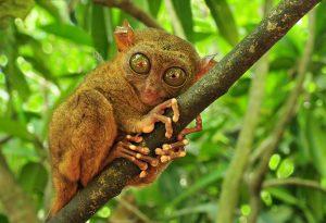 Tarsier aapjes Sulawesi | Rama Tours Holland