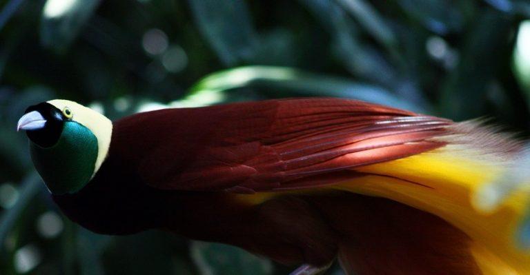 Papua, op zoek naar de paradijsvogel   Rama Tours